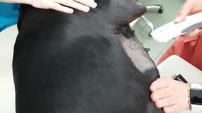 Shaving the coat in a dog for ultrasound examination. In clinic stock footage