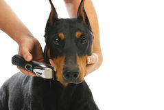 Shaving dogs face Royalty Free Stock Images