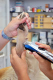 Vet shaving dogs leg royalty free stock photography