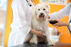 Shaving part of skin of Maltese dog before treatment Royalty Free Stock Photos