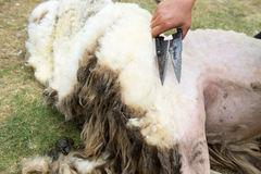 Shaving a sheep Royalty Free Stock Images
