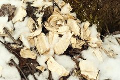 Shavings left after the work of the beaver royalty free stock photography