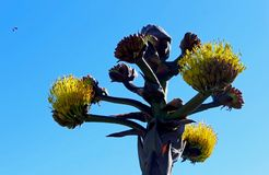Shaw agawa, Cabrillo Krajowy zabytek, San Diego zdjęcia royalty free