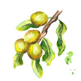 Shea branch with nuts and green leaves. Watercolor illustration. Shea branch with nuts and green leaves. Watercolor hand-drawn illustration vector illustration