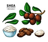 Shea butter vector drawing. Isolated illustration of berry, nuts, branch vector illustration