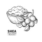 Shea butter vector drawing. Isolated vintage illustration of nuts. Organic essential oil engraved style sketch. stock illustration