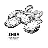 Shea butter vector drawing. Isolated vintage illustration of nuts. Organic essential oil engraved style sketch. Royalty Free Stock Photo