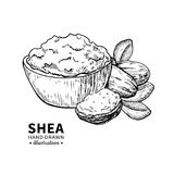 Shea butter vector drawing. Isolated vintage illustration of nuts. Organic essential oil engraved style sketch. Stock Images