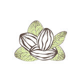 Shea Nut Illustration Stock Afbeelding