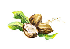Shea nuts with butter and green leaves. Watercolor illustration. Shea nuts with butter and green leaves. Watercolor hand-drawn illustration vector illustration