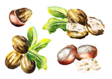 Shea nuts and butter set. Watercolor illustration. Shea nuts and butter set. Watercolor hand-drawn illustration royalty free illustration