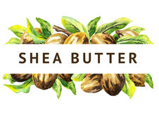 Shea nuts and green leaves background. Watercolor. Illustration royalty free illustration