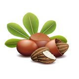 Shea nuts with green leaves vector illustration royalty free illustration