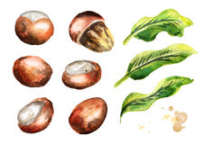 Shea nuts and leaves set. Watercolor hand-drawn. Illustration stock illustration