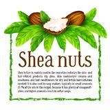 Shea nuts with leaves in vector. Vector shea nuts with shea butter and green leaves in a square text frame isolated on a white royalty free illustration