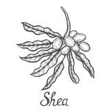 Shea nuts plant royalty free illustration