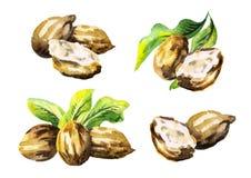 Shea nuts set. Watercolor illustration. Shea nuts set. Watercolor hand-drawn illustration stock illustration