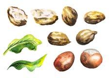 Shea nuts set. Watercolor illustration. Shea nuts set. Watercolor hand-drawn illustration vector illustration