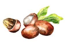 Shea nuts. Watercolor hand-drawn illustration. Shea nuts and leaves. Watercolor illustration stock illustration