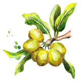 Shea plant with nuts and green leaves. Watercolor illustration. Shea plant with nuts and green leaves. Watercolor hand-drawn illustration royalty free illustration