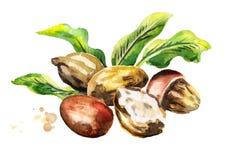 Sheaboomnoten met boter en groene bladeren watercolor Stock Foto's