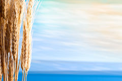 Sheaf Of Barley Royalty Free Stock Photography