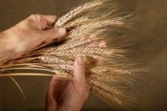 Sheaf Of Barley. Farmer inspect barley on the brown background Stock Image