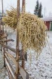 Sheaf of barley Stock Images