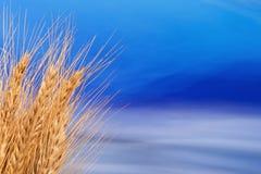 Sheaf of Barley Stock Photos