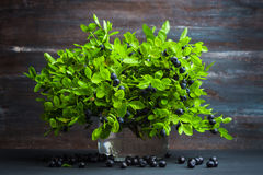 Sheaf of bilberry plant in jar Stock Photos
