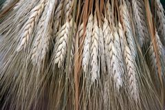 Sheaf of wheat at harvest festival royalty free stock photography