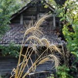 Sheaf  ear of wheat  in background from outbuilding Royalty Free Stock Photos