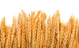 Sheaf Golden Wheat Ears Royalty Free Stock Images