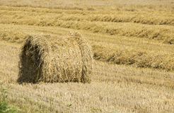 Sheaf of golden wheat on field Royalty Free Stock Images