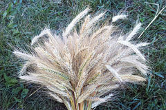 Sheaf of ripe rye on the grass. Spikes in a sheaf of ripe rye. Nature background Royalty Free Stock Image