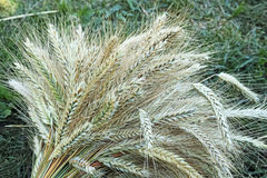 Sheaf of ripe rye. Spikes in a sheaf of ripe rye. Nature background Stock Images
