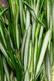 Sheaf of rosemary Royalty Free Stock Images