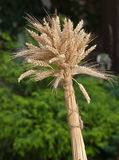 Sheaf of wheat. Winter wheat with a dark background Stock Photo