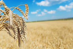 Sheaf of wheat. On the background of the large field of ripe wheat and blue sky with white clouds Stock Image
