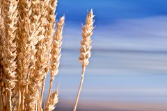 Sheaf Of Wheat. On The Blue Sky Stock Photos