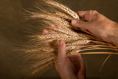 Sheaf Of Wheat. Farmer inspect wheat on the dark background Royalty Free Stock Image
