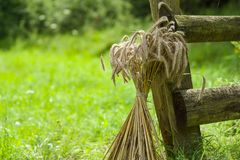 A sheaf of wheat. A sheaf of wheat near an old wooden fence Royalty Free Stock Photo