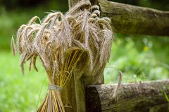A sheaf of wheat. A sheaf of wheat near an old wooden fence Stock Image