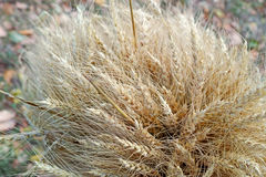 Sheaf of wheat on top Stock Photos