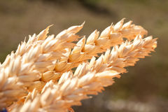 Sheaf of wheat under the sun Royalty Free Stock Image