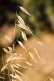 Sheaf of wild wheat Royalty Free Stock Image