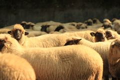 A sheap amoung a flock of sheep. One sheap is looking straight at you Royalty Free Stock Photos