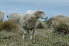 Sheap weidt dichtbij de kust op het gras stock fotografie