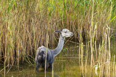 Sheared alpaca (Lama pacos). In a marshy pond Royalty Free Stock Photos
