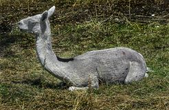 Sheared alpaca 1